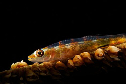 A whip coral goby lit up with a snoot. by Steve De Neef